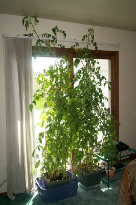 Growing Tomatoes Indoors Garden Notes